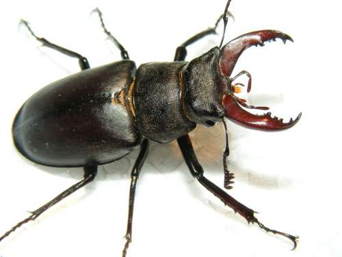 Animals Wildlife Insects Stag Beetle Lucanus