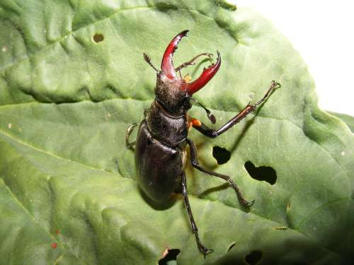 Animals Wildlife Insects Stag Beetle Fly Lucanus