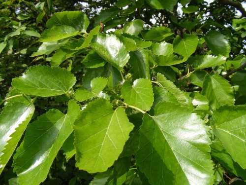 Anthocyanins Broussonetia Colorants Fruits Green