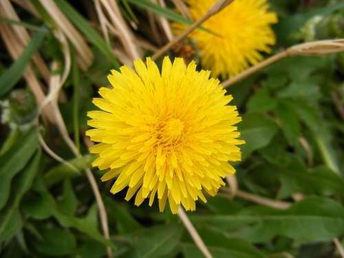 Anti-Cancer Asteraceae Dandelion Dyspeptic Flower