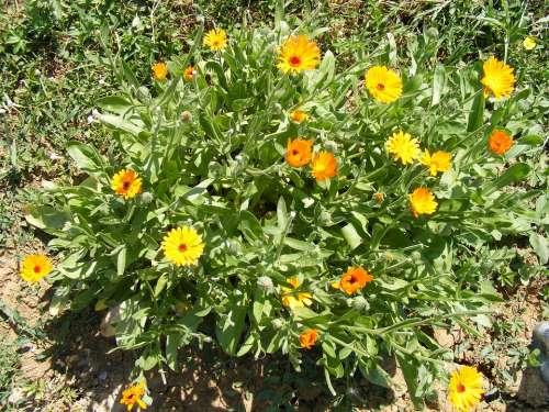 Antiseptic Bactericide Calendula Flowers Herb