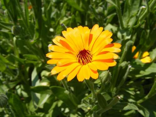 Antiseptic Bactericide Calendula Flowers Herb