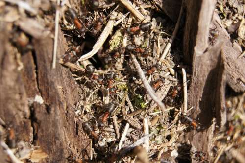 Ants Wood Ant Nature Insect