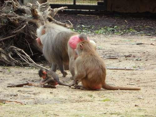Ape Baboons Family Monkey Family Monkey Zoo