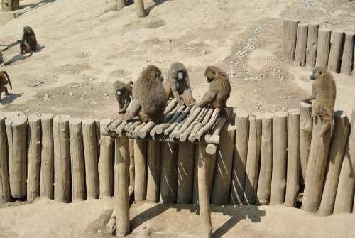 Ape Wild Animal Nature