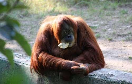 Ape Down Monkey Orangutan Sitting Zoo