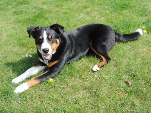 Appenzell Mountain Dog Animal Tri Color Black White
