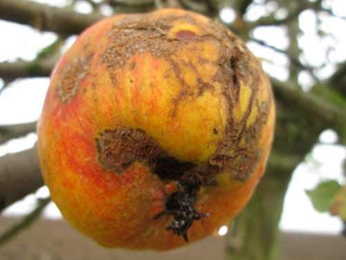 Apple Nature Autumn Old