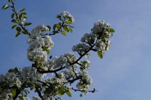 Apple Apple Tree Apple Blossom Blossom Bloom White