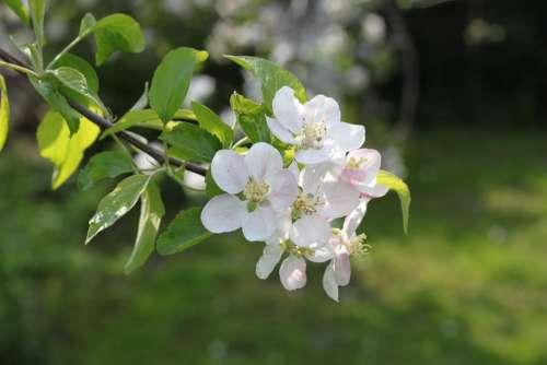 Apple Apple Tree Flowers Flowers