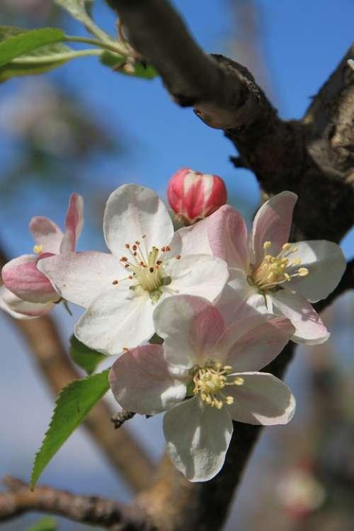 Apple April Blossom Close-Up Flowers Plants