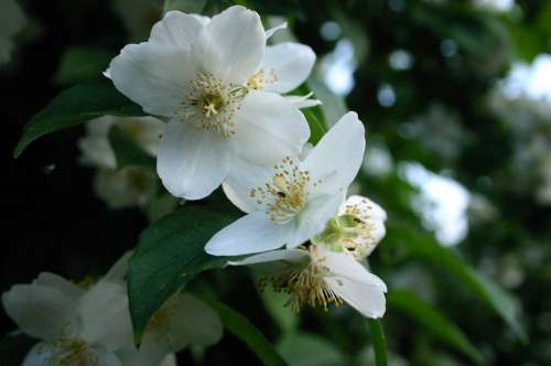 Apple Blossom Flowers Spring Flora Nature Plant