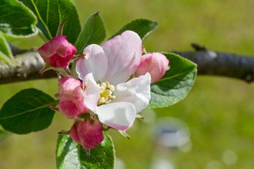 Apple Blossom Apple Tree Tree Blossom Bloom Nature