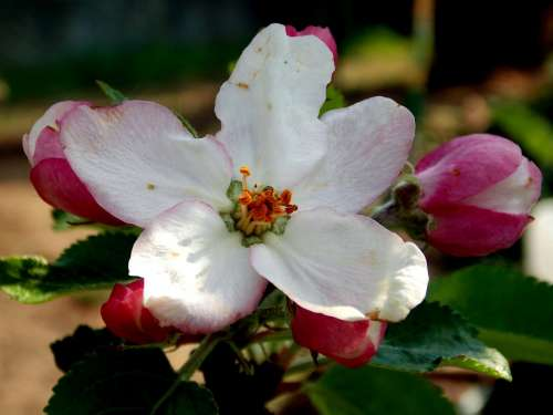 Apple Blossom Spring Flower Apple Tree Bud Blossom