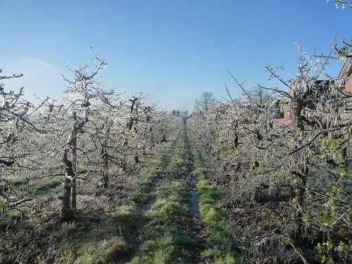 Apple Orchard Apple Tree Ice Frost