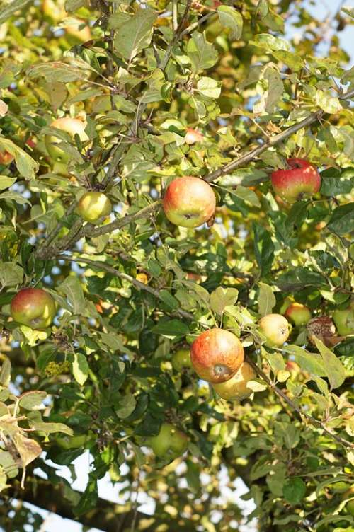 Apple Tree Apple Leaves Fruit Healthy Fresh