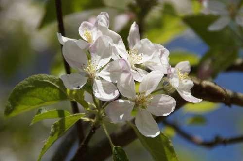 Apple Tree Blossom Flowers Apple Blossoms