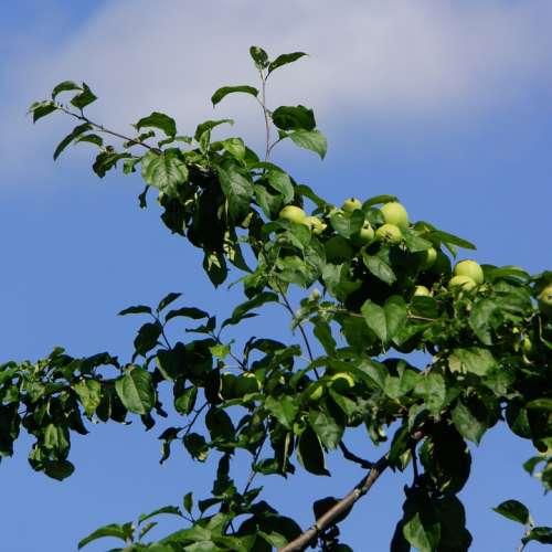 Apple Tree Fruit Apple Ripening Apple