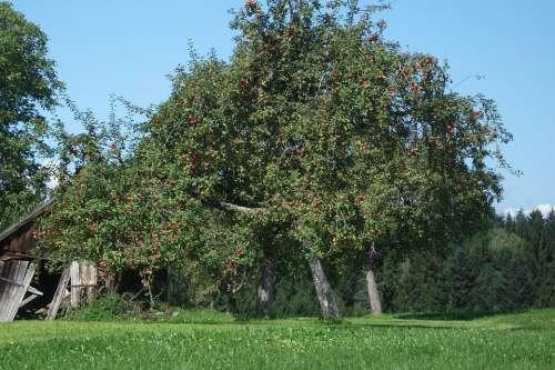 Apple Tree Nature Romantic Tree Apple Branch