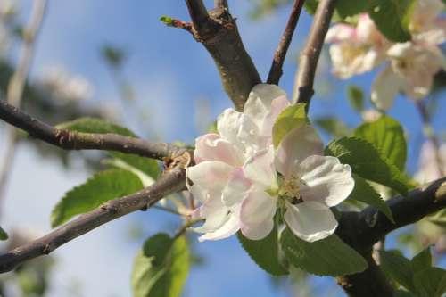 Apple Tree Apple Blossom Tree Flower Branch Garden