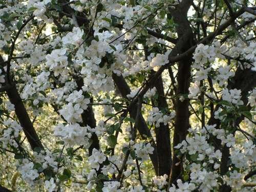 Apple Tree Bloom Apple Blossom White Nature Spring
