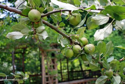 Apples Branch Apple Tree Fruit Green Bough