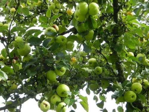 Apples Fruit Tree Green
