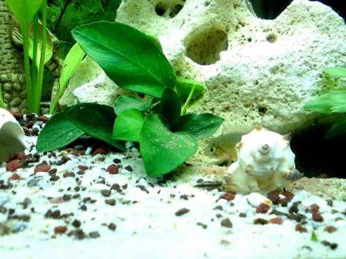 Aquarium Fish Perch Cichlid