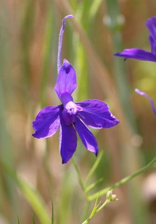 Arable Larkspur Field Flower Blossom Bloom Violet