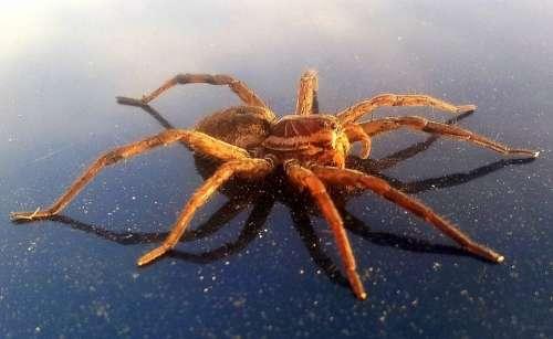 Arachnids Araneae Arthropoda Big Giant Spider