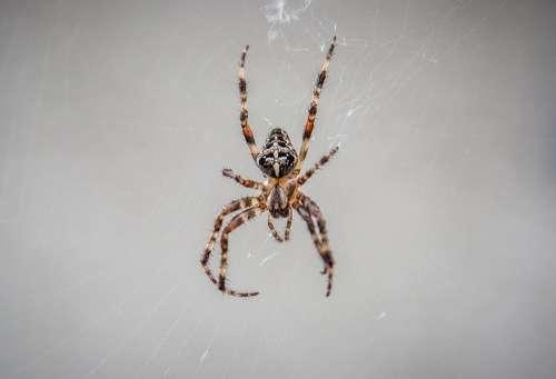 Araneus Spider Spnnentier