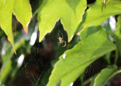 Araneus Spider Cobweb Vine Leaves Web Insect