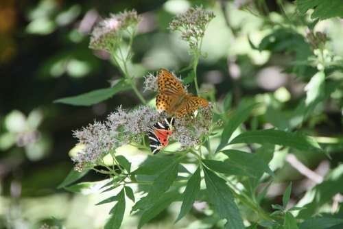 Arctiidae Butterfly Cannabinum Eupatorium Euplagia