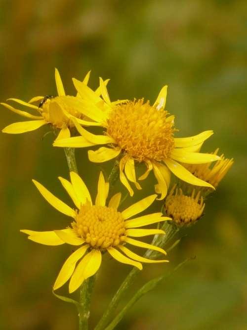Arnica Arnica Montana Medicinal Plant Flower