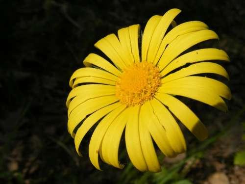 Arvensis Calendula Flowers Forest Marigold Wild