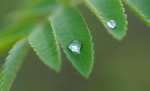 Ash Dew Drip Plant Rain Close Up Nature Wet