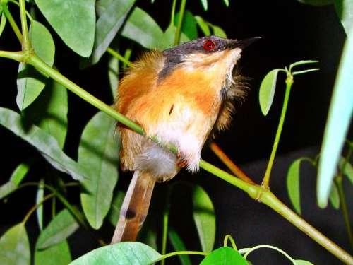 Ashy Wren Warbler Bird Nature Close-Up Macro