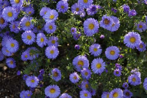 Asters Blue Blue Flowers Flowers Background