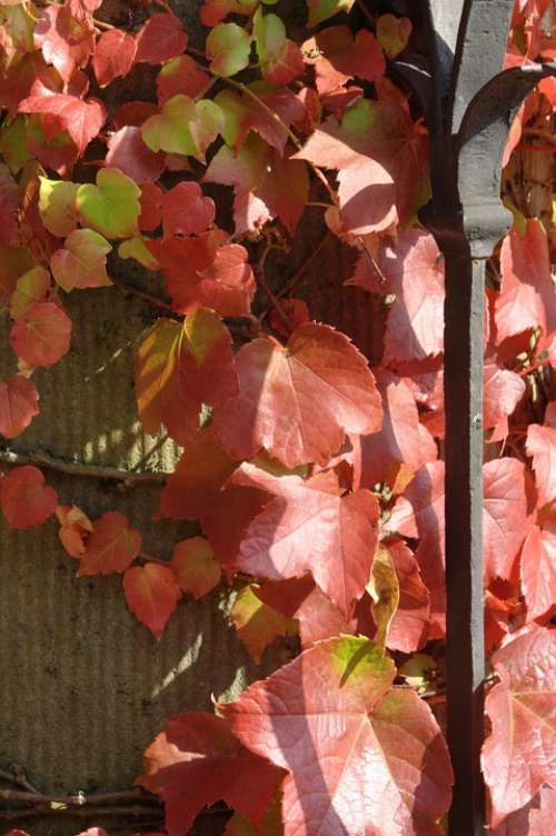 Autumn Vine Leaves In The Autumn Red