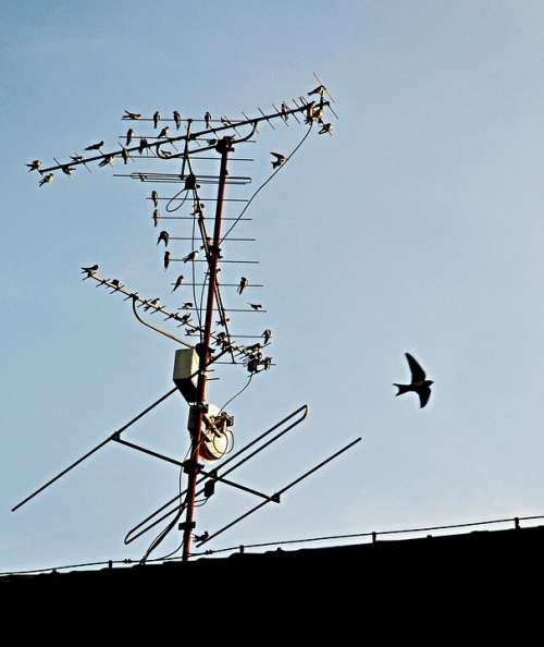 Autumn Swallows Before Departure Antenna Roof