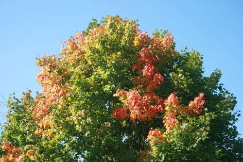 Autumn Tree Maple Colored Color Landscape Clouds