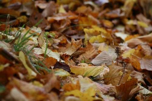 Autumn Leaves Fall Foliage Golden Autumn