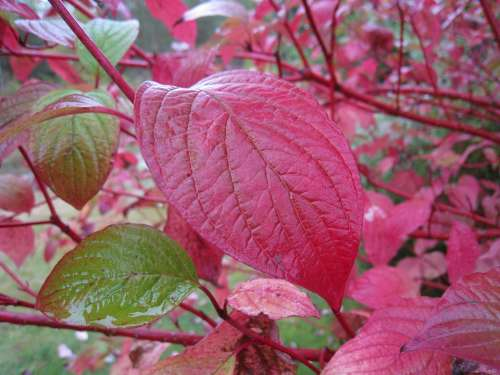 Autumn Leaf Red Green Garden Bush