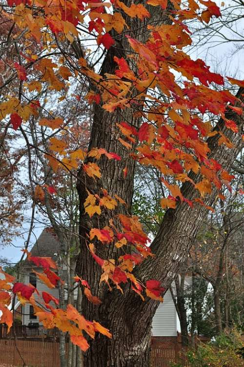 Autumn Fall Fall Colors Maple Orange Leaves