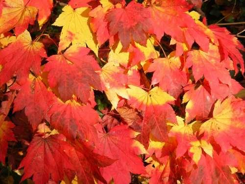 Autumn Colour Leaves Tree Fall Colors