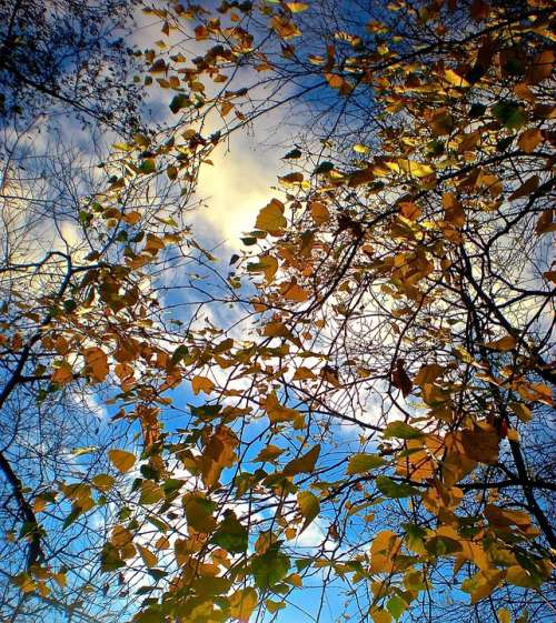 Autumn Tree Leaf Blue Skies The Thicket