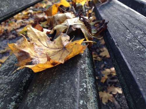 Autumn Leaf Wood Fall Maple