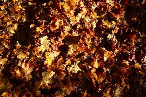 Autumn Leaves Season Fall Plant Nature Leaf
