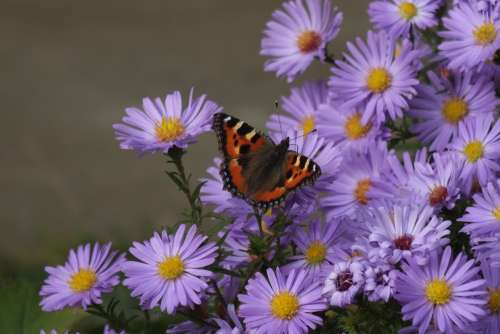 Autumn Butterfly Asters