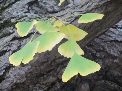 Autumn Arboretum Ginkgo Biloba Autumn Leaves